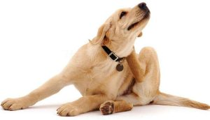 Proteja seu pet de pulgas e carrapatos